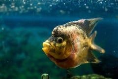 poissons de frontosa image libre de droits