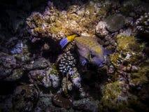 Poissons de Fugu Espèce marine Photos stock