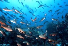 Poissons de Galapagos Image libre de droits