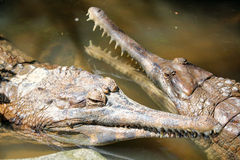 Poissons de Gharial mangeant le crocodile Photographie stock