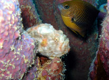 Poissons de grenouille photos stock