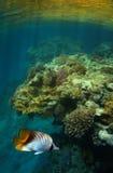 Poissons de guindineau et récif coralien Photo stock