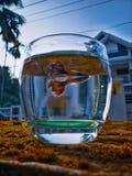 Poissons de guppy photo libre de droits