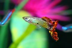 Poissons de guppy avec le reticulata coloré de Poecilia de fond images libres de droits