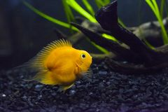 Poissons de jaune de cichlid de perroquet de sang dans l'aquarium photo libre de droits