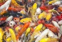 Poissons de Koi Image libre de droits