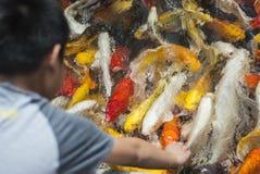 Poissons de Koi Photographie stock libre de droits