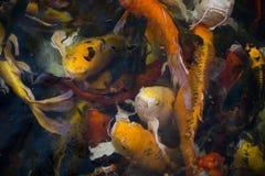 Poissons de Koi dans l'étang Photographie stock