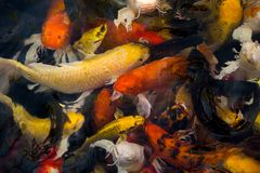 Poissons de Koi dans l'étang Image libre de droits
