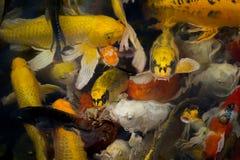 Poissons de Koi dans l'étang Image stock