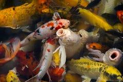 Poissons de Koi dans l'étang Photographie stock libre de droits