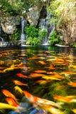 Poissons de Koi dans l'étang avec la cascade Photographie stock libre de droits