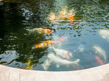Poissons de Koi dans l'étang de koi Photo stock