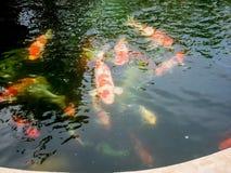 Poissons de Koi dans l'étang de koi Photographie stock