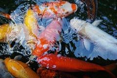 Poissons de Koi dans un étang Photographie stock libre de droits