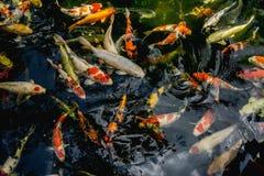 Poissons de Koi, natation de fantaisie de poissons de carpe dans l'étang Images libres de droits