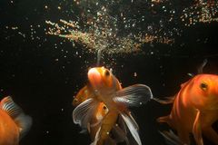 Poissons de Koi sous-marins Image libre de droits