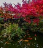 Poissons de Koi sur l'étang à Kyoto, Japon photographie stock libre de droits