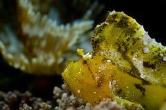 Poissons de lame sur le récif. l'Indonésie Sulawesi Photos libres de droits