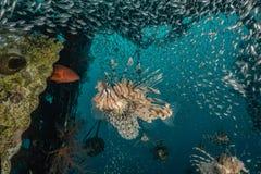 Poissons de lion dans les poissons color?s de la Mer Rouge photographie stock