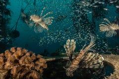 Poissons de lion dans les poissons color?s de la Mer Rouge photo stock