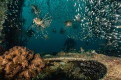 Poissons de lion dans les poissons color?s de la Mer Rouge images stock