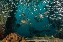 Poissons de lion dans les poissons color?s de la Mer Rouge images libres de droits