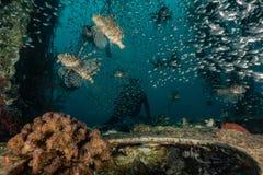 Poissons de lion dans les poissons color?s de la Mer Rouge image libre de droits