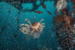Poissons de lion dans les poissons color?s de la Mer Rouge photos libres de droits