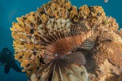 Poissons de lion dans les poissons color?s de la Mer Rouge photos stock
