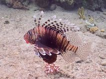 Poissons de lion Plongée en monde sous-marin de récif coralien Photo stock