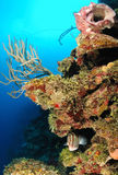 Poissons de mérou en récif coralien Images stock