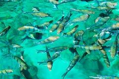 Poissons de mer rouges Photos libres de droits