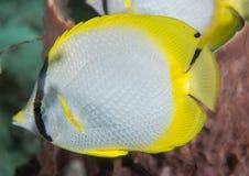 Poissons de mouche à beurre d'aileron de tache sur un récif. Image libre de droits