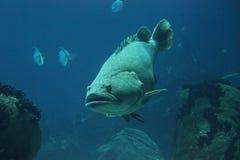 Poissons de napoléon nageant sous l'eau Photographie stock