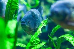 Poissons de Napolean dans l'aquarium Photo libre de droits