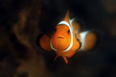 Poissons de Nemo Images libres de droits