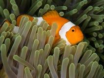 Poissons de Nemo dans l'anémone Images stock