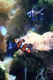 Poissons de Nemo (poissons de clown) Photo libre de droits