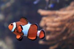 Poissons de Nemo (poissons de clown) Photos stock