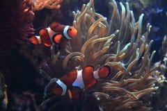 Poissons de Nemo (poissons de clown) Photo stock