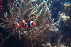Poissons de Nemo (poissons de clown) Photographie stock libre de droits