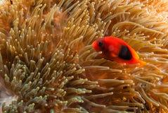 Poissons de Nero avec le corail mou photos libres de droits