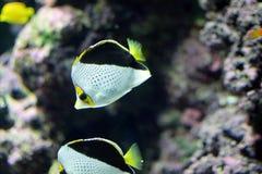 Poissons de papillon avec un aquarium intérieur de dos de noir Image libre de droits