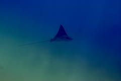 Poissons de patin dans l'océan Photos libres de droits