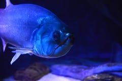 Poissons de piranha Image stock