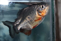 Poissons de piranha Image libre de droits