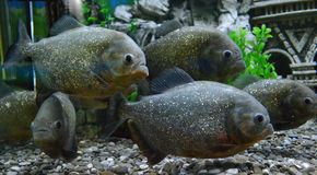 Poissons de piranha dans un aquarium Photo stock