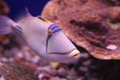 Poissons de récif coralien Photos libres de droits