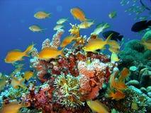 Poissons de récif coralien Image stock